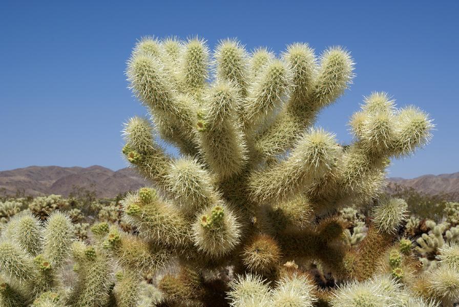 Joshua Tree Np Cholla Cactus Garden